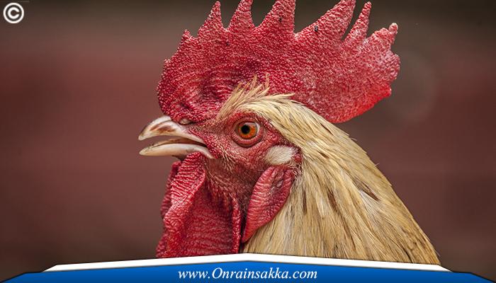 Tips Membedakan Ayam Betina Dan Ayam Jantan Bangkok