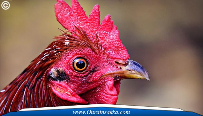 Ayam Sabong Bertaruh Ekor Terpanjang