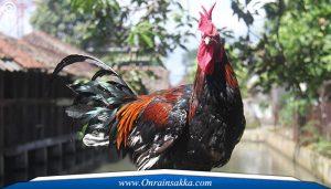 Karakteristik Ayam Sabong