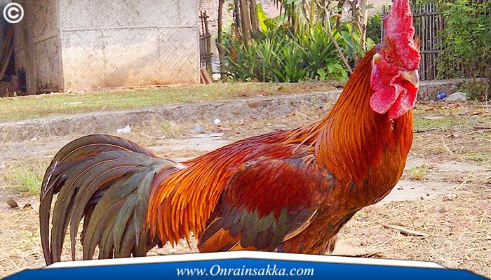 Melakukan Taruhan Ayam Sabong Online