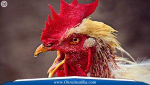 Perbedaan antara Siamese Ayam Bangkok