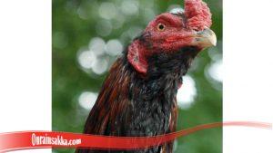 Kelebihan Ayam Brewok