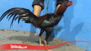 rahasia melatih ayam pukul mati, cara melatih pukulan ayam supaya keras dan cepat, cara melatih ayam petarung biar kuat, cara mengeraskan badan yang lembek, cara memandikan ayam agar tahan pukul, pakan ayam muda aduan, cara membuat kaki ayam jadi keras, cara melatih pukulan ayam filipina, pakan ayam bangkok supaya kekar, cara melatih ayam bangkok pukul saraf, cara melatih ayam pukul jalu, download video cara melatih ayam bangkok, cara melatih nafas ayam bangkok, cara melatih ayam ngalung, melatih pukulan ayam agar akurat, pukulan ayam tidak naik, penyebab pukulan ayam hilang, cara mengembalikan pukulan ayam yang hilang, ciri-ciri kepala ayam tahan pukul, manfaat air rebusan daun nangka untuk ayam bangkok, kesaktian daun sirsak untuk ayam bangkok, ciri kepala ayam pembunuh,
