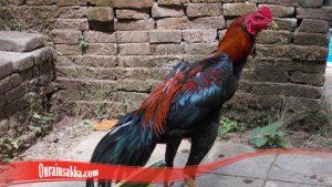 Trik Merawat Bulu Ayam Bangkok