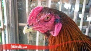 Trik Merawat Mata Ayam Terluka