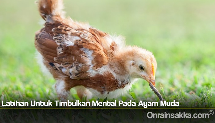 Latihan Untuk Timbulkan Mental Pada Ayam Muda